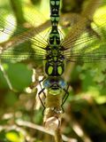 Male Southern Hawker dragonfly royalty free stock photos