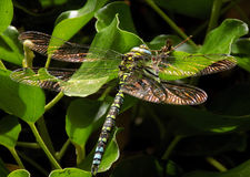 Male Southern hawker dragonfly with shimmering outstretched wings stock images