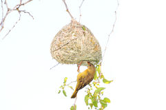 Male Southern Masked Weaver. Building his nest Stock Images