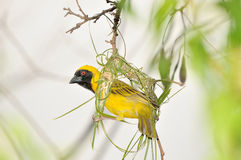 Male Southern Masked Weaver. Building his nest using strips of palm leaf Royalty Free Stock Image
