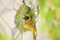 Male Southern Masked Weaver. Building his nest using strips of palm leaf Stock Photography