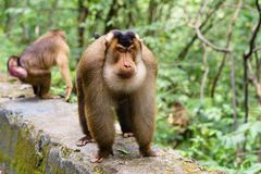 Male southern pig-tailed macaque Stock Image