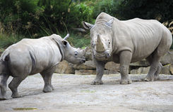 Male Southern White Rhinoceros and cub. Royalty Free Stock Image