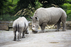 Male Southern White Rhinoceros and cub. Stock Image