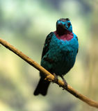 Male spangled cotinga. Against nature background Royalty Free Stock Photography