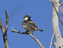 Male Spanish sparrow sitting on a tree. Stock Photography