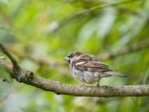 male sparrow Arkivfoton