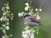 A male sparrow. Stock Photography