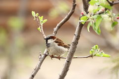 Male sparrow. Singing to mark its territory in spring Royalty Free Stock Image