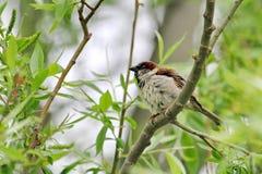 Male Sparrow Arkivfoto