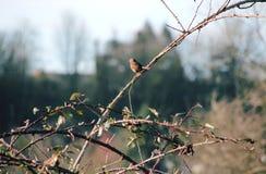 Male Sparrow Royaltyfri Foto