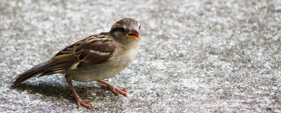 Male Sparrow -beak open. Young male Sparrow on the ground with his beak open Royalty Free Stock Image