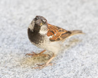Male sparrow begging. For a piece of bread, selective focus Royalty Free Stock Photo