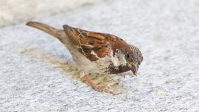 Male sparrow begging Royalty Free Stock Image