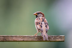 Male Sparrow at bird house in the garden. During autumn Royalty Free Stock Photos