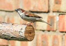 Male sparrow on branch. A male sparrow sitting on a branch with brick wall Royalty Free Stock Photos