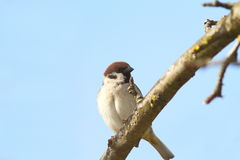Male sparrow close up. Perched on branch ( Passer domesticus Stock Image