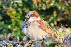 Male Sparrow Portrait on a Hedge royalty free stock photo