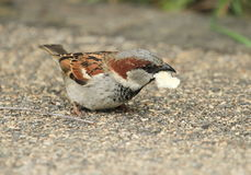 Male sparrow eating Royalty Free Stock Photo