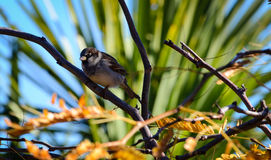 Male Sparrow. A male sparrow enjoying the winter sun (New Zealand Stock Photo
