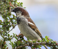 Male Sparrow with food for its chicks. Close up of male sparrow perched on branch with insects in its beak preparing to fly to a nearby nest to feed its chicks royalty free stock images