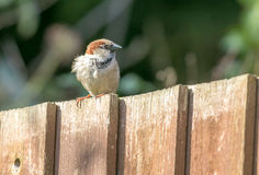 Male sparrow on garden fence. A male sparrow sitting on a garden fence Royalty Free Stock Photography