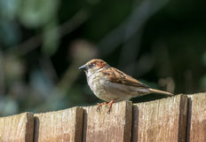 Male sparrow on garden fence. A male sparrow sitting on a garden fence Stock Image