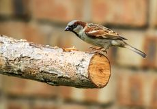 Male sparrow on garden fence. A male sparrow sitting on a branch Royalty Free Stock Photos