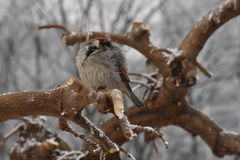 Male Sparrow. Male house sparrow standing on a tree branch Stock Photo