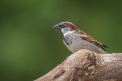 Male sparrow. Male house sparrow watching his surroundings Stock Photo