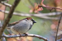 Male Sparrow. On branch Royalty Free Stock Image