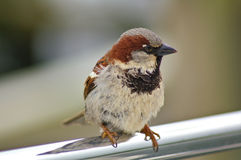 Male sparrow on a metal rail. Male sparrow perched on a metal rail Royalty Free Stock Images