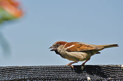 Male sparrow at my garden Stock Photography