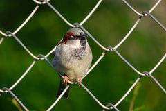 Male sparrow perching on a chain-link wire fence. Male sparrow passer domesticus perching on a chain-link wire fence in front of blurry green leaves Royalty Free Stock Images