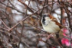Male sparrow singing. Alone on a leafless bush Stock Photo