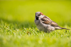 Male sparrow with sunflower seed in beak. Horizontal photo of single male sparrow with nice gray and brown feathers. Bird stands in green grass and has one black Stock Image
