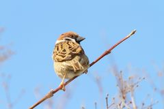 Male sparrow on twig over blue sky. Male house sparrow ( Passer domesticus ) perched on twig over blue sky background Royalty Free Stock Photo
