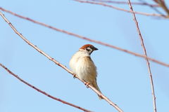 Male sparrow on twig. Over blue sky ( Passer domesticus Royalty Free Stock Image