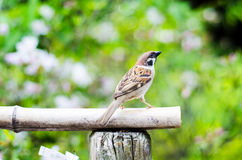 Male sparrow on a wood tray and green background. Male sparrow on a wood tray and green bright background Royalty Free Stock Photography