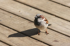 Male sparrow on wooden boards Stock Photos