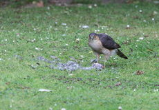 Male sparrowhawk. Stock Photos