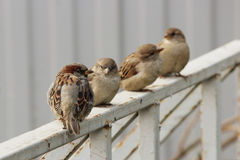 Male sparrows Passer domesticus sitting on a white metal Bicycle parking. Male sparrows Passer domesticus sitting on a white metal Bicycle parking Royalty Free Stock Photography