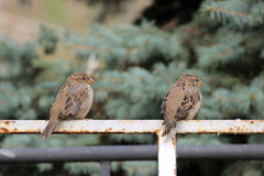 Male sparrows Passer domesticus sitting on a white metal Bicycle parking. Male sparrows Passer domesticus sitting on a white metal Bicycle parking Royalty Free Stock Photos