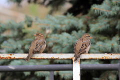 Male sparrows Passer domesticus sitting on a white metal Bicycle parking. Royalty Free Stock Image