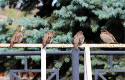 Male sparrows Passer domesticus sitting on a white metal Bicycle parking. Stock Photography