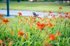Male sparrow resting on summer lilies. stock photo