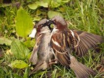 male sparrows två för stridighet Arkivbilder