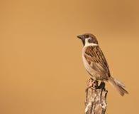 male sparrowtree Royaltyfri Bild