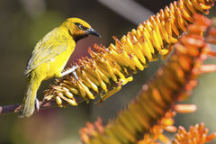 Male spectacled weaver sits on aloe flower to eat nectar. Male spectacled weaver sits on an aloe flower to eat nectar Stock Photos