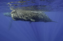 Male Sperm Whale. Underwater view of a sperm whale swimming at the surface off the coast of Mauritius Stock Images